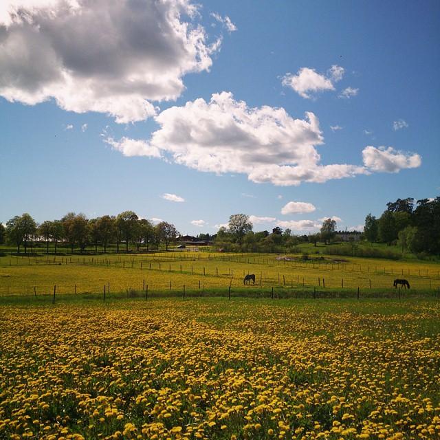 Svensk försommar: betande hästar, molntussar och så en gul äng med #maskrosor. Finns även en snygg alle i bakgrunden. Jag står för övrigt rakt på en vikingatida gravgård när jag fotar den här bilden. #runriket #Såstaholm #täby #försommar