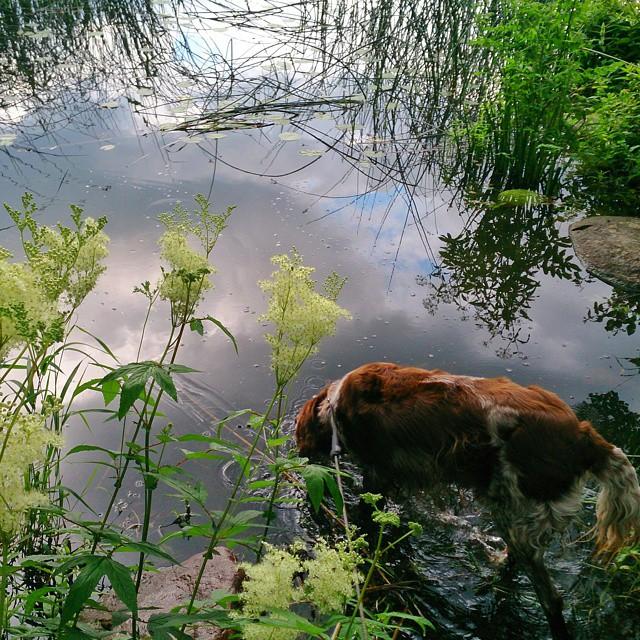 Research och synopsis för mitt bidrag till #Täbyantologin stod på schemat men så kom ett sms från ett knasföretag och störde mitt fokus. Jag gillar inte sms fr företag, har inte ens mitt telefonnummer utsatt på mina visitkort så jag ringde dem och bad att få mitt nummer bortplockat. Då passade hunden på att hoppa i sjön. Nåväl. Vi blev båda två sjöblöta senare av en åskskur. #Täby  #Rönningesjön #münsterländer
