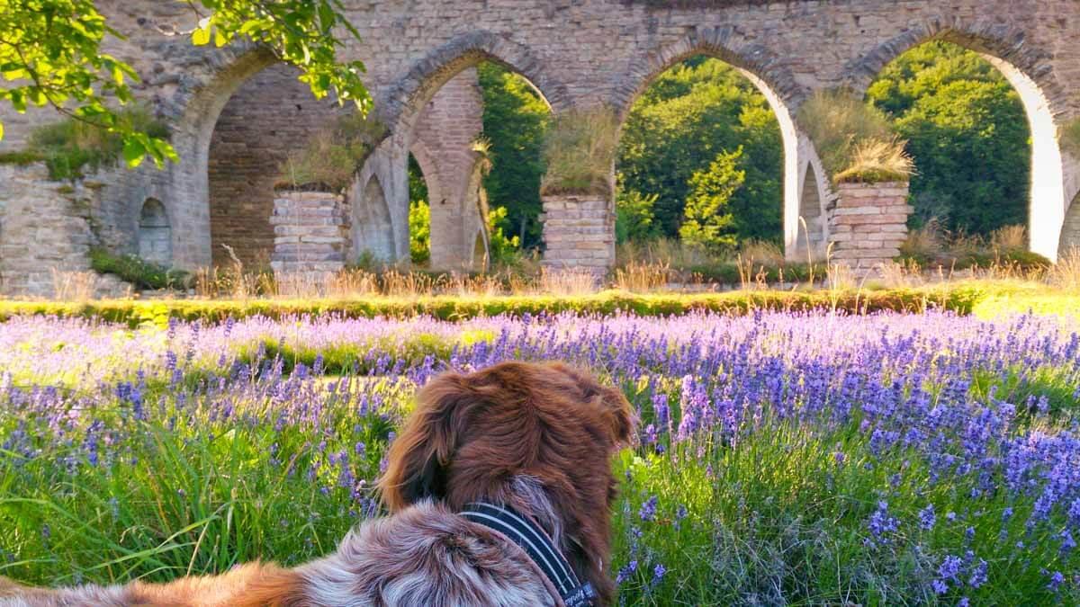Klosterruin, lavendel och hund